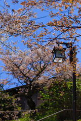 Sakura Tree and Lamp