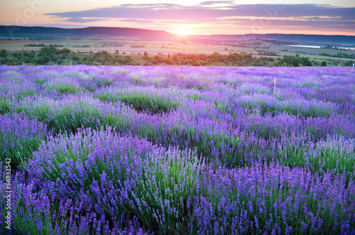 Meadow of lavender. - 66832542