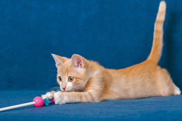 Red kitten on blue background