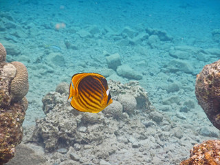 Chaetodon fish at red sea