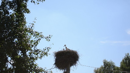 Stork bird family in nest on electricity pole and tree branches