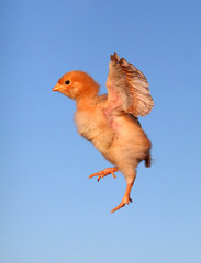 Flying chicken with blue background