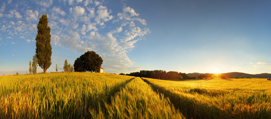 Summer wheat panorama