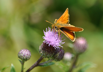 Butterfly on blooming thistle