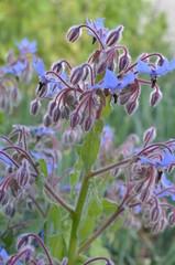 Borretsch - Blüten