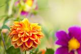 Farbenfrohe Dahlien, Dahlia, leuchtende Sommerblumen