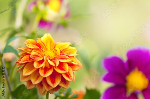 In de dag Dahlia Farbenfrohe Dahlien, Dahlia, leuchtende Sommerblumen