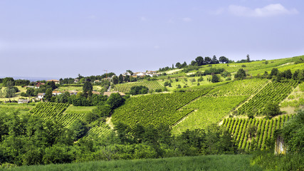 Vineyards, Oltrepo Pavese. Color image