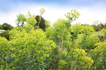Wood Spurge - Euphorbia amygdaloides Two flower spikes