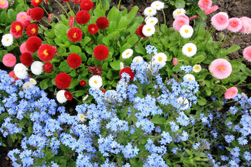 Forget me not flowers mixed with daisies