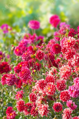Foto Spatwand Dahlia Lebhaftes Dahlienbeet in Rottönen, Dahlia, Sommerblumen