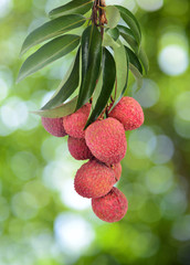 fresh lychee on tree