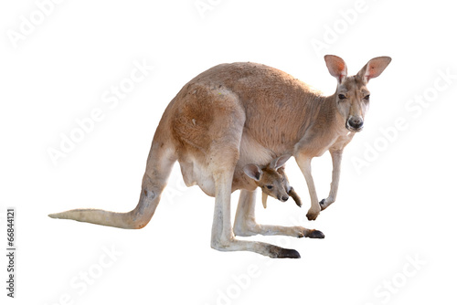 Deurstickers Kangoeroe kangaroo with joey