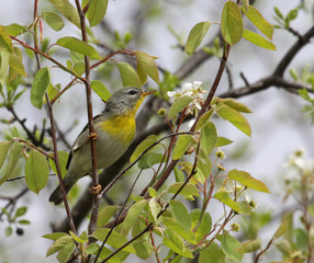 Northern Parula in a Tree