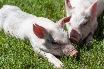 Little Piglet Resting on Grass