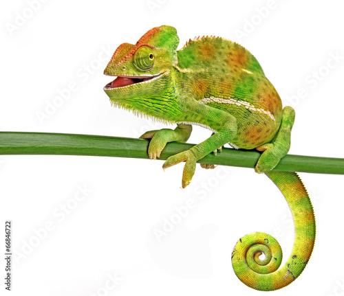 happy chameleon © Vera Kuttelvaserova