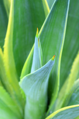 Agave green leaves