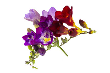 Blooming Freesia