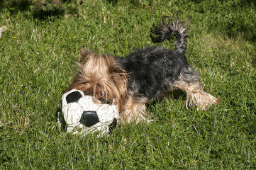 Yorkshire Terrier lying on grass and shabby leather soccer ball