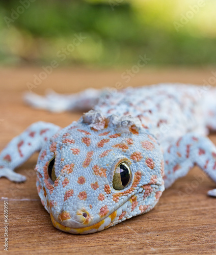 Closeup of gecko on the wood wall - 66850951