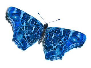 beautiful blue isolated butterfly
