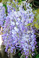 Wisteria flowers © Arena Photo UK