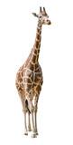 large giraffe isolated on white