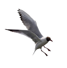 flying black-headed gull on white
