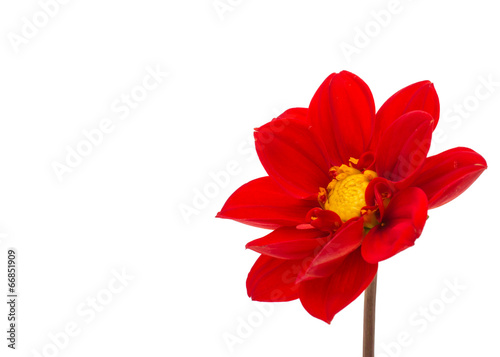 Keuken foto achterwand Dahlia red dahlia isolated