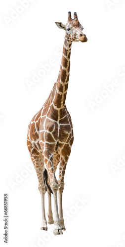 large giraffe isolated on white