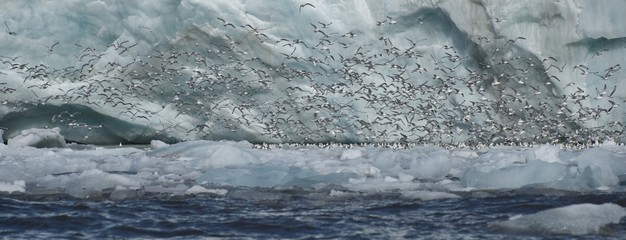 Panorama of kittiwakes flying past ice cliff