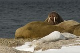 Walrus showing tusks on snowy Arctic beach poster