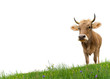 Cow on grass - 66858323