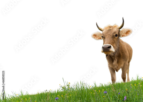 Fotobehang Koe Cow on grass