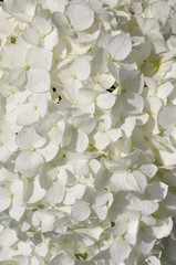 White hydrangea in the garden