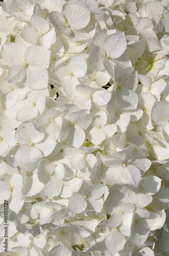 Foto op Canvas Hydrangea White hydrangea in the garden