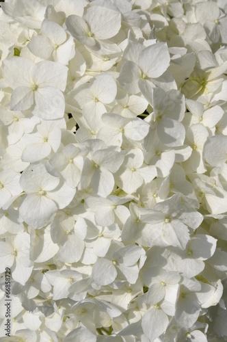 Tuinposter Hydrangea White hydrangea in the garden