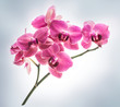 Orchid flowers on grey background