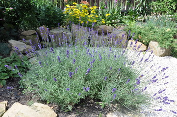 Lavender flowers in the garden