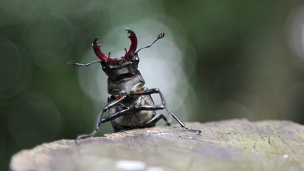 Insect stag beetle.Beetle deer in the wild.