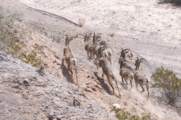 Desert Bighorn Sheep Running