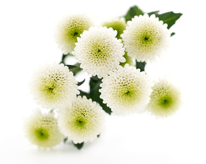 Bouquet of beautiful chrysanthemums on white background