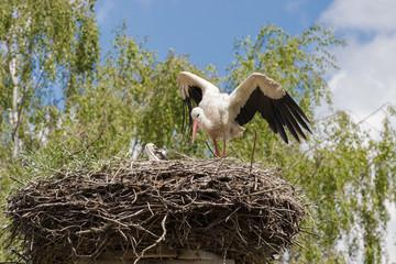 Storch mit Jungvögeln im Nest