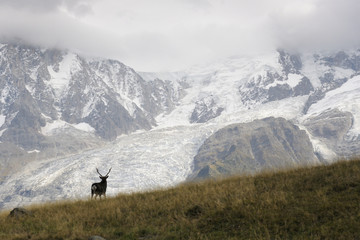 Red deer (Cervus elaphus) with glaciers and in rut.