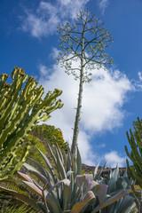 agave flowering