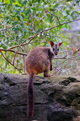 Brush-tailed Rock Wallaby looks over its shoulder