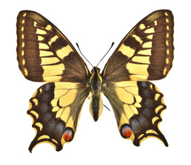 The European Swallowtail (Papilio machaon)