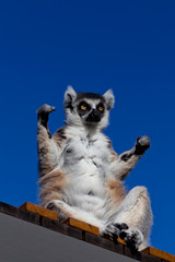 A Ring-tailed Lemur holds his arms up