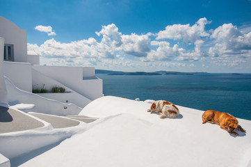 Dogs in Santorini