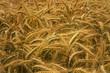 Getreidefeld ©yvonneweis